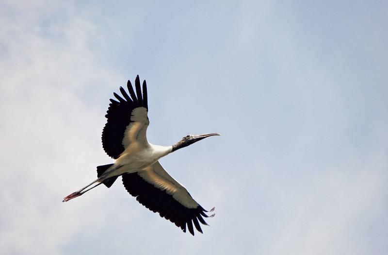 Wood Stork, Everglades FL