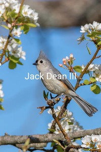 Tufted Titmouse In Pear Tree