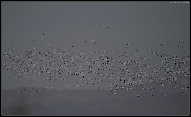 Snow Geese, observed in a field behind the Sonny Bono Nature Center, Salton Sea, Imperial County, California, November 2009