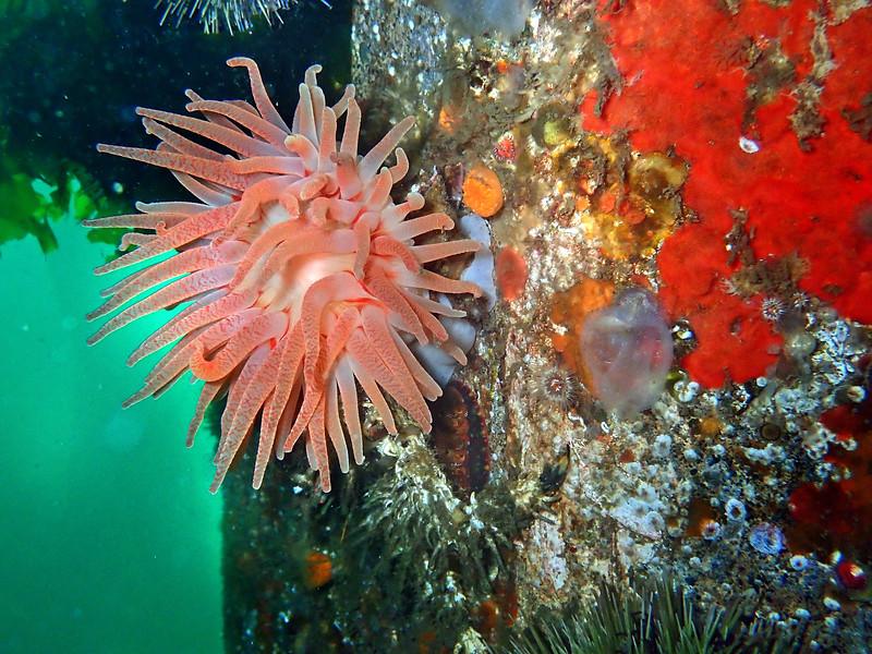 P8100052 Crimson anemone Argonaut Wharf  .jpg