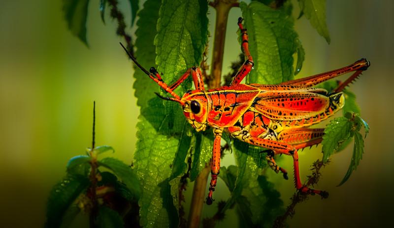 Grasshoppers 70.jpg