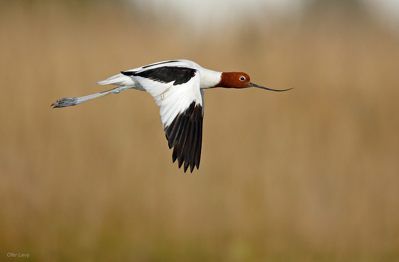 Red-necked Avocet flight MASTER.jpg