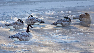 Cuyahoga River Winter Geese and Mist - Jan 2014