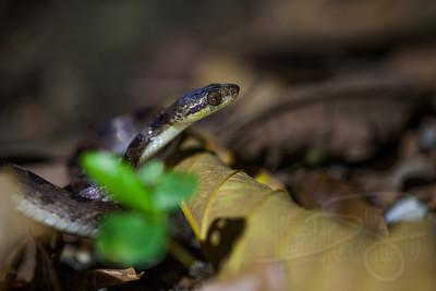 Cat-eyed snake.