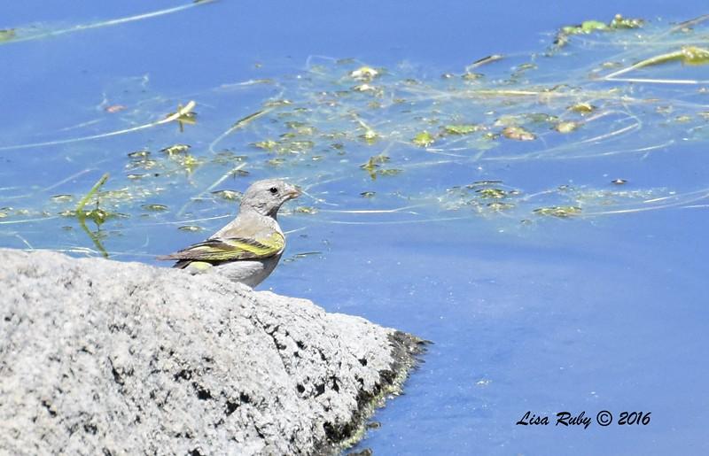 Female Lawrence's Goldfinch  - 6/4/2016 - Laguna Meadows