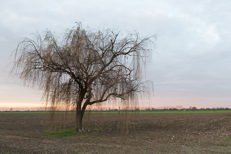 Weeping Willow - Sant'Agata Bolognese, Bologna, Italy - December 9, 2014