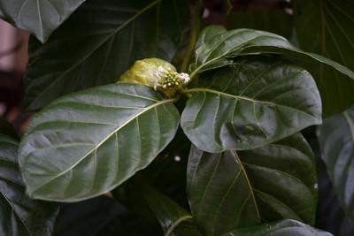 Morinda citrifolia (Rubiaceae)