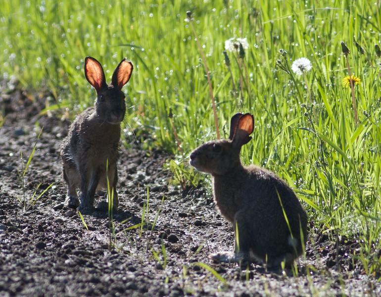 Snowshoe Hare young juvenile Sax Road Sax-Zim Bog MN IMG_9305.jpg