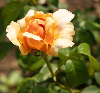THe Bethlehem Rose Garden, 6-21-21 (Z7 II)