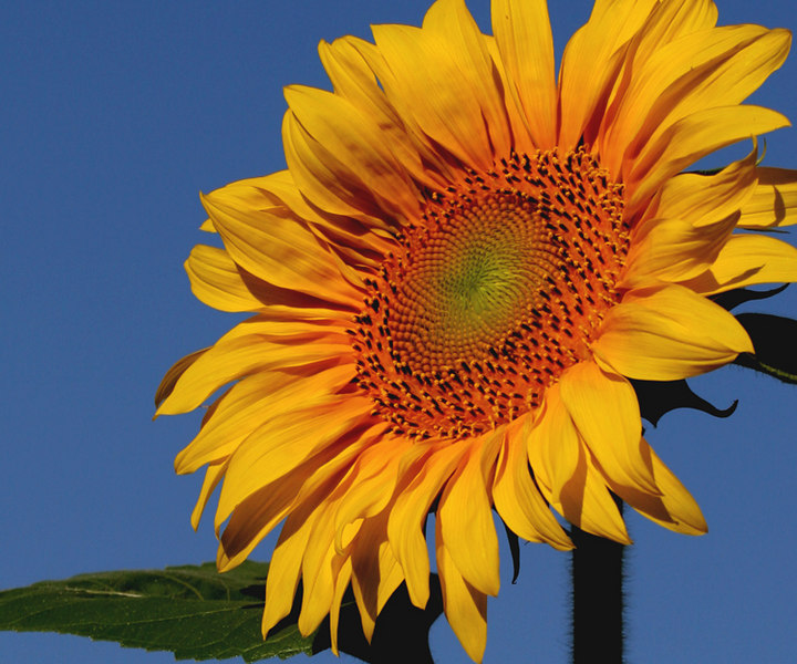 sunflowersmall.jpg