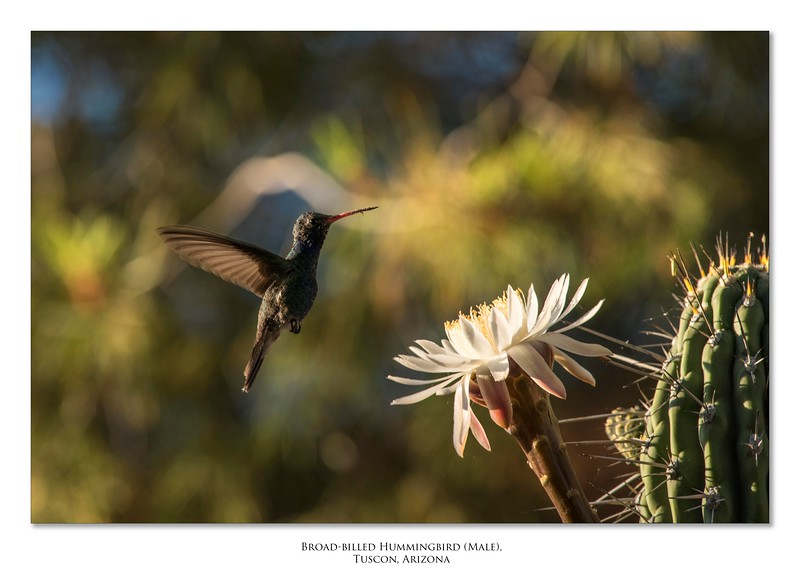 Broad-billed Hummingbird_low.jpg