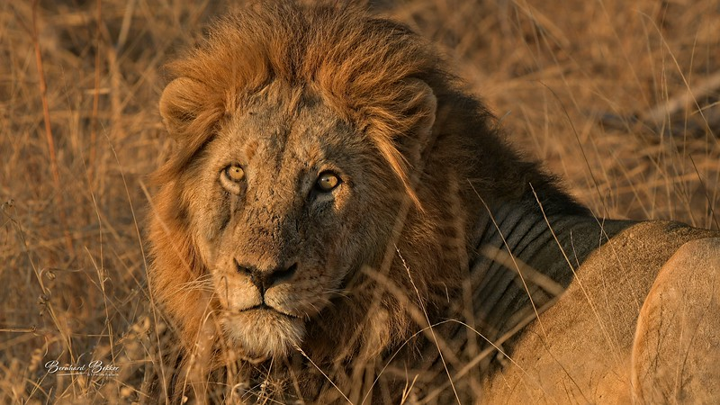 Lion 5.jpg