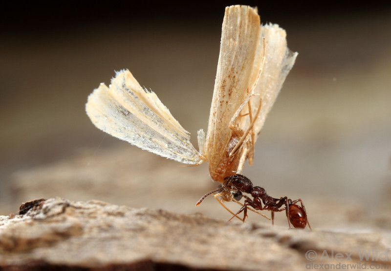 Aphaenogaster mariae worker returning to the nest with a moth carcass.