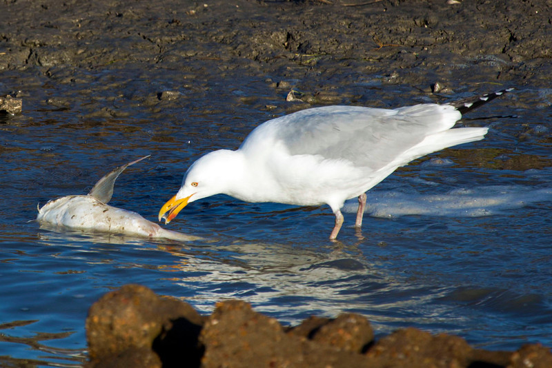 A gull going after a fish.  Did the gull catch it or is it roadkill?  Guess we'll never know.