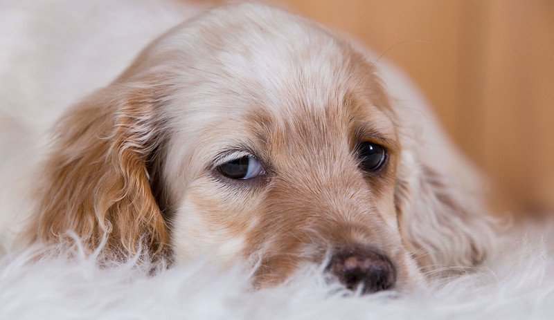 english-setter-puppies-uk-Redhara-Setters-scaled.jpg