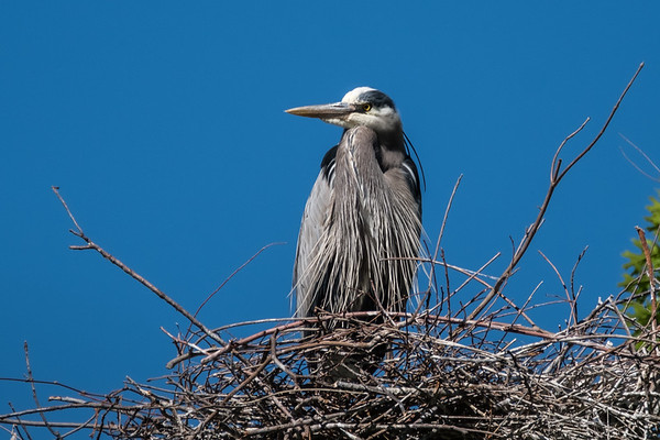 Heron Nests March 2017