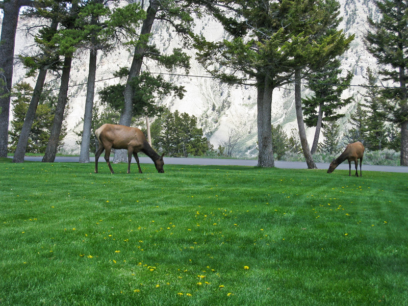 Elk grazing near our picnic table in Mammoth