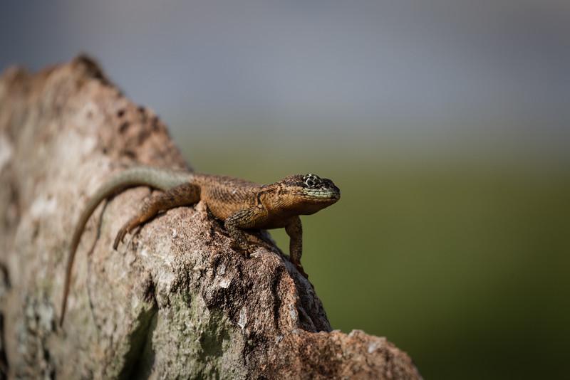 lizard-_Y4G9147-121206.jpg