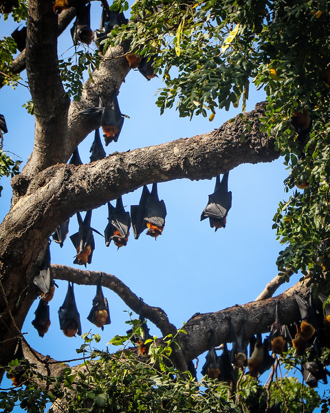 The flying fox, or fruit bats, taking a nap