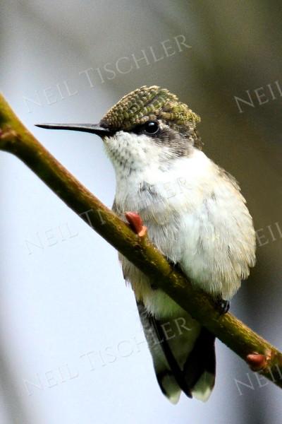 #1087  Ruby throated hummingbird, juvenile male