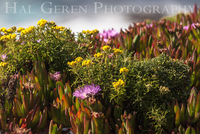 Iceplant and Misc Flowers Garrapata Creek Headlands Big Sur, California 1206BS-F5