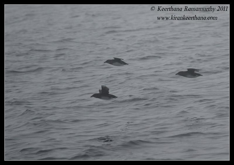 Rhinoceros Auklets, SDFO Jan 1st Pelagic Trip Pacific Ocean, San Diego County, California, January 2012