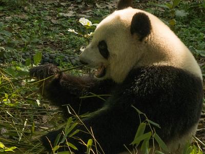 Changdu giant pandas