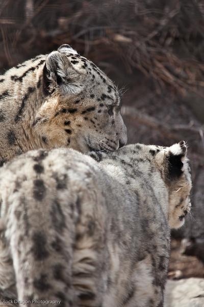Snow Leopards, Calgary Zoo April 11