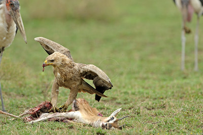 Marabou Stork and Tawny Eagle scavenging in the plains of Ndutu in north Tanzania