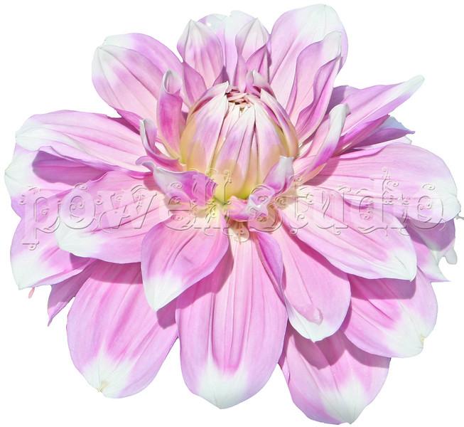 Pink Flower 3.jpg