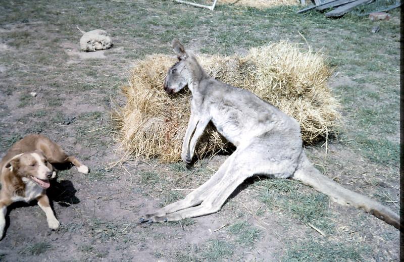 1964-3-20 (18) Lassy with the kangaroo she  killed.JPG