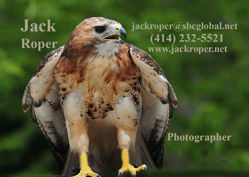 Hawk red tail   copy.jpg