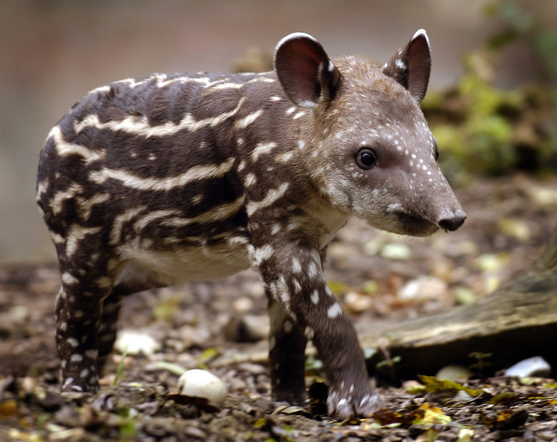 Description of . Florales, a 14-day-old South American Tapir girl is presented to the press for the first time at the zoo in Zurich, Switzerland. Florales is the 22nd tapir born in Zurich's zoo. (AP Photo/KEYSTONE/Eddy Risch)