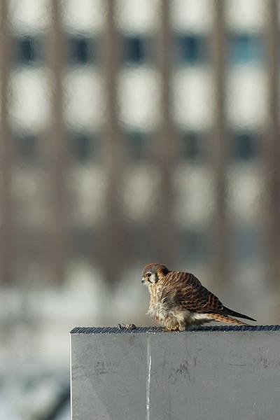 Longueuil, Qc, Canada: une Crécerelle d'Amérique ( Falco sparverus ) venait manger ses proies sur le grillage de cette cheminée en hiver, particulièrement lorsque lla température chutait sous les -10C. Les émanations n'y sont pas toxiques puisqu'il s'agit d'air filtré chaud. Elle économisait ainsi son énergie. On observe aussi deux boulettes de régurgitation./ This American Kestrel  ( Falco sparverus ) was coming on this wire mesh chimney to eat its preys when the temperature was going down under -10C. This was a way to save it energie. The air flowing from the chimney is a clean warm air. The Kestrel came back at least for three years at this place. There are two regurgitation balls on the wire mesh.