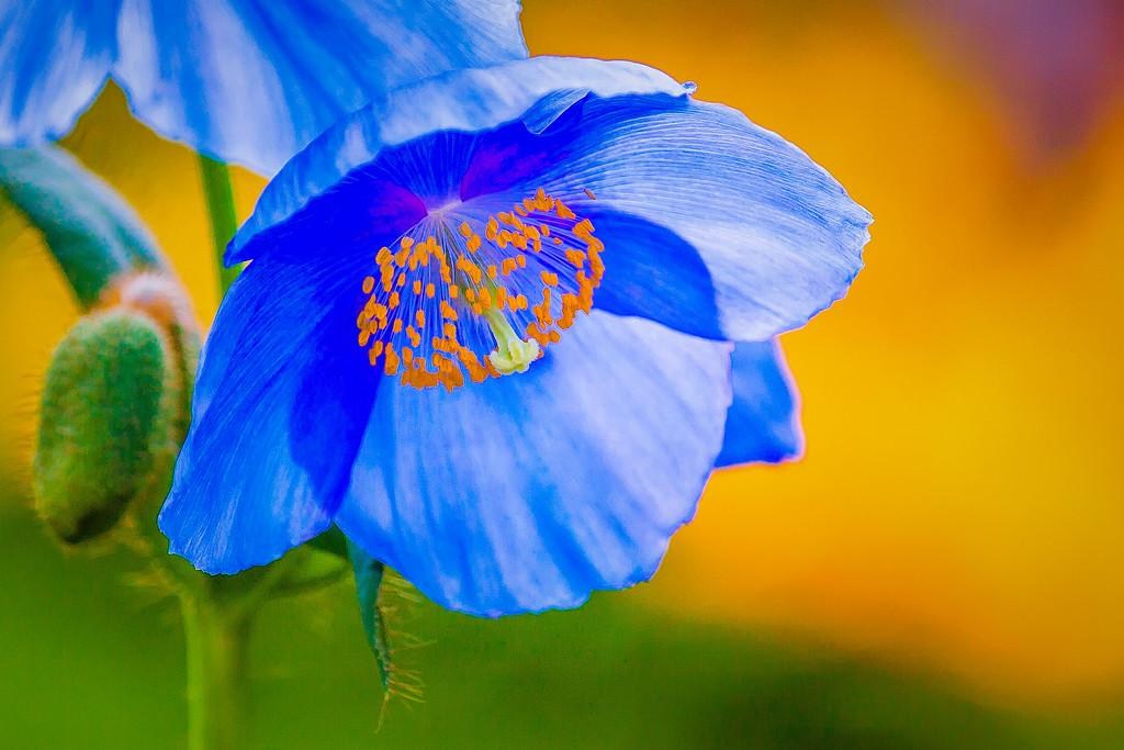 罂粟花,妖艳美丽
