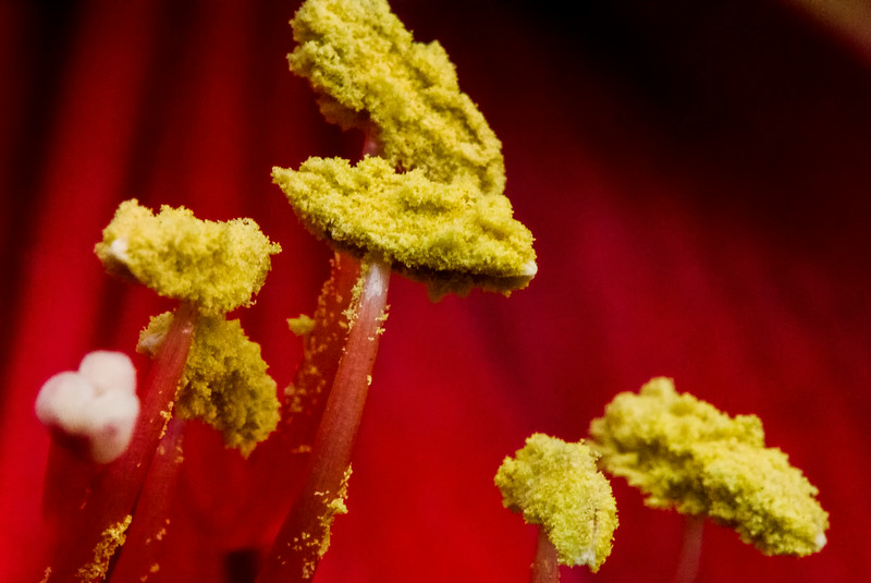 Pollen Covered Lily