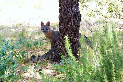 Gray Fox Invasions