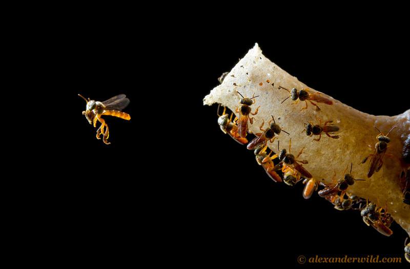 Tetragonisca angustula stingless bees.