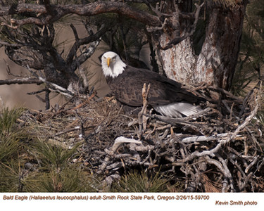 Bald Eagle F59700.jpg