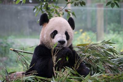 Chongqing Zoo (Pandas)