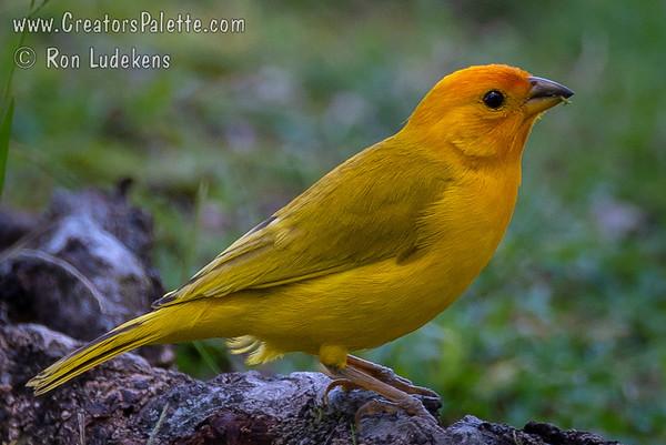 Birds of the Big Island