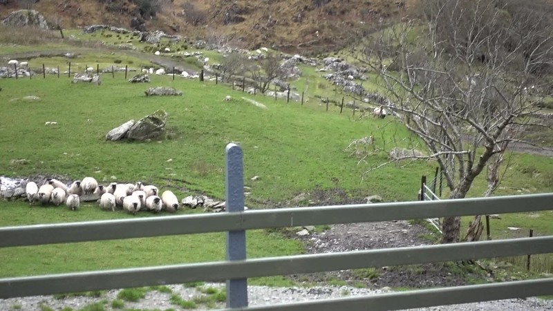 Sheepdog Demo_Ring of Kerry__MAH02004.MP4
