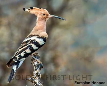 Hoopoe, Scimitarbill & Hornbill