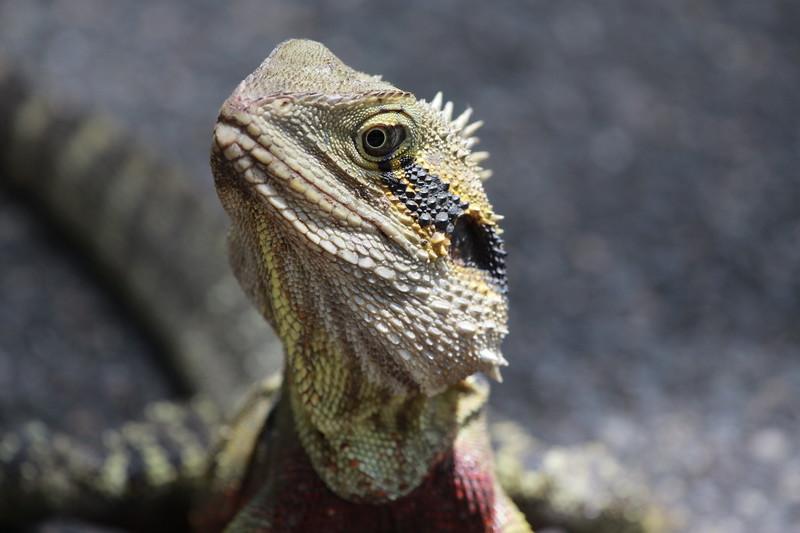 Male eastern water dragon, Sunshine Coast, Australia