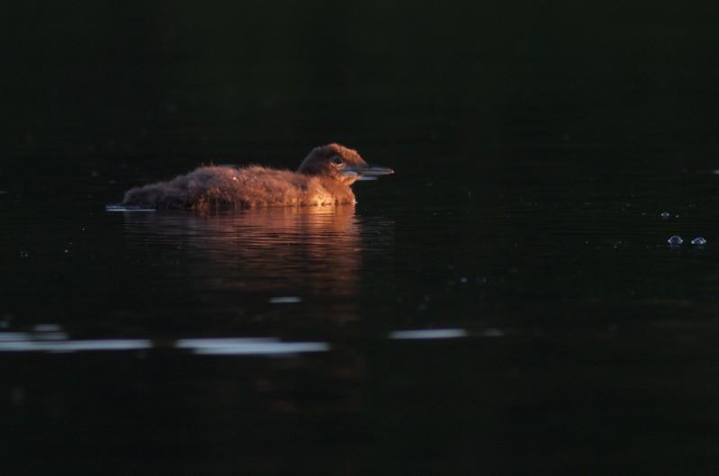 Common Loon Savanna Portage S.P. Aitkin Co MN IMG_0062614.jpg