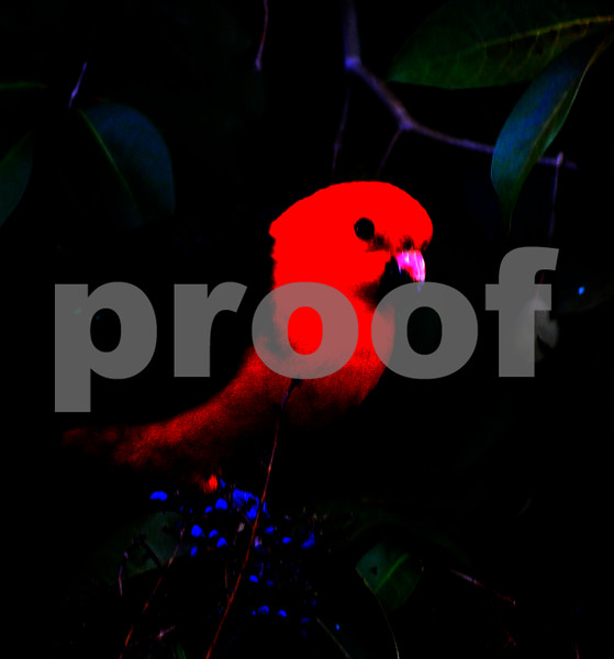 king parrot funk.jpg