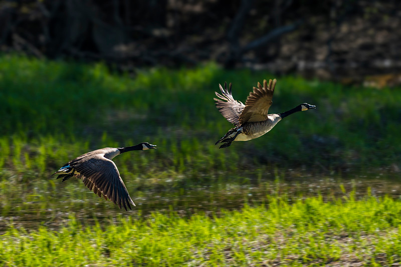 Geese Take Off 1