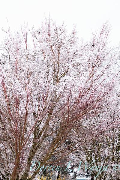 Acer palmatum 'Sango Kaku' coral bark in snow_4076.jpg