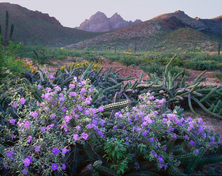 Baja California Sur, Mexico / La Paz, Estero Balandra. Galloping cactus, Machaerocereus gummosus, wind-blown nightshade flowers Cardon cactus, Pachycereus pringlei.  907H3