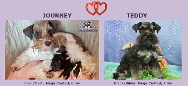 Journey & Teddy Puppies, DOB 2/06/2020